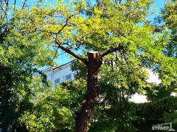 """Попил и откат в Одессе: """"Горзелентрест"""" борется с деревьями (ФОТО)"""