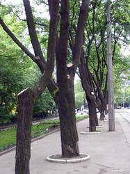 Одесская мэрия уничтожает деревья на Французском бульваре уже семь лет подряд (ФОТО)