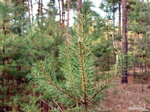 В Одесской области незаконно уничтожили почти 600 деревьев