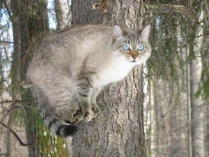 В Национальном парке убивают краснокнижных лесных котиков