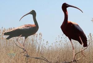 Из Африки в Одесскую область прилетели редкие птицы