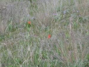 На одесских склонах распустились цветы из Красной книги (ФОТО)