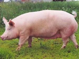 Африканская чума: На юге Одесской области уничтожают две тысячи свиней