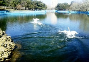 В одесский парк вернулись лебеди (ФОТО)