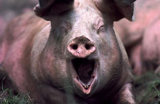 Власти Беларуси запретили ввоз свинины из Одесской и еще двух регионов Украины