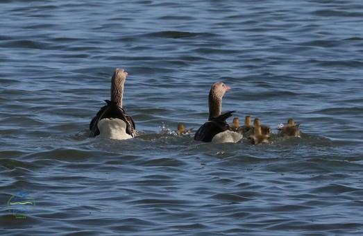 Первые гусята появились в национальном парке «Тузловкие лиманы»