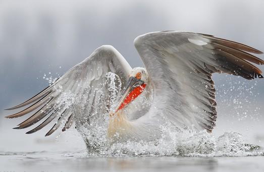 Национальный парк в Одесской области участвует в Третьем Европейском учете пеликанов