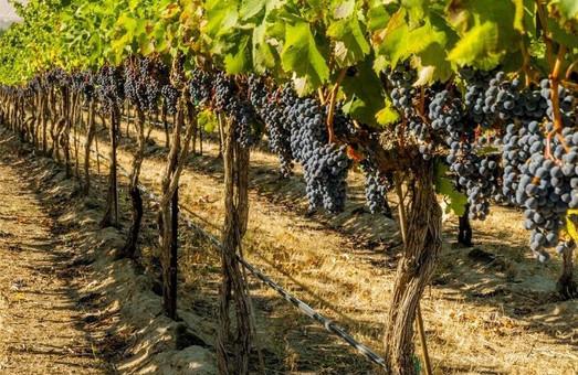 В Одесской области завершают создание кадастра всех виноградников