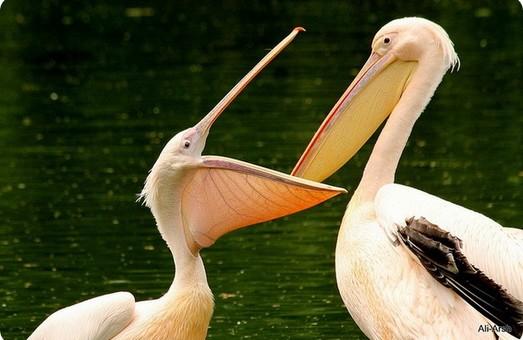 В национальном парке на юге Одесской области обитают четыре сотни розовых пеликанов