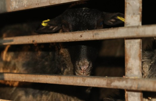 Спасти овец, томящихся в Черноморском порту, не удалось